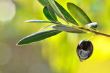 Black olive with leaves and oil drop, food background