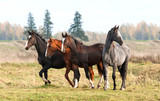 Four beautiful young horses walking at field in autumn