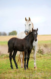 White mare with black foal standing on pasture in autumn