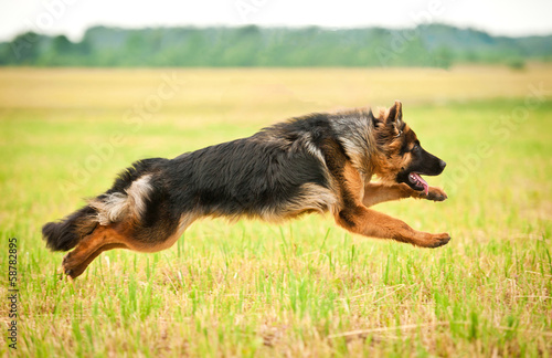 German shepherd dog running with four legs in the air