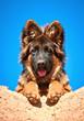 Portrait of german shepherd puppy