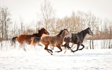 Group of three horses running in winter