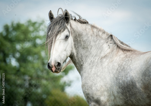 Portrait of beautiful gray shire horse