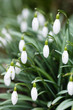 Постер, плакат: Snowdrops close up