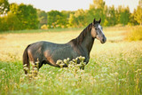 Young grey horse standing on flower field in summer