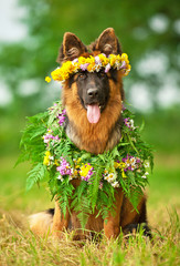 German shepherd dog with flower wreath