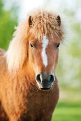 Portrait of nice curly pony