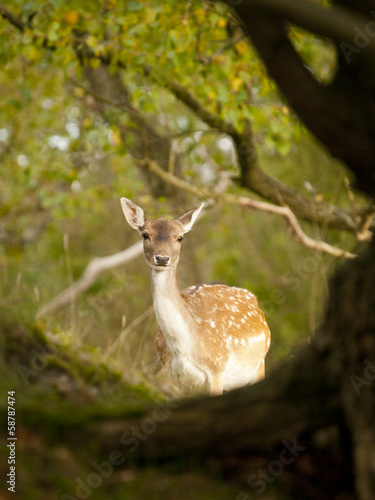 Female fallow deer (Dama dama) in the Waterleidingduinen, NL