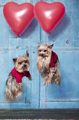 Flying Yorkshire Terrier dogs