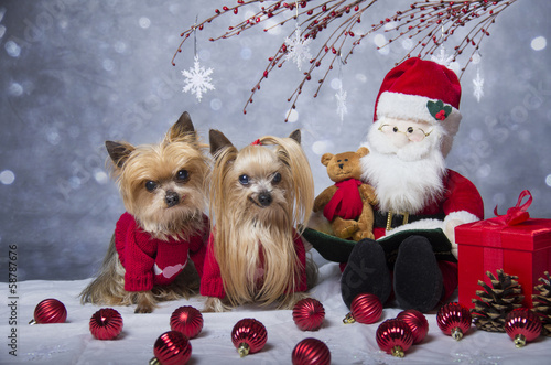Christmas Yorkshire terrier dogs