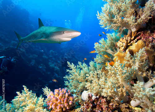 Underwater image of coral reef with shark and divers