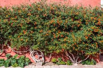 Lantana bush inside Santa Catalina monastery Arequipa Peru
