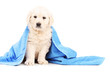 Little labrador retriever dog covered with blue towel