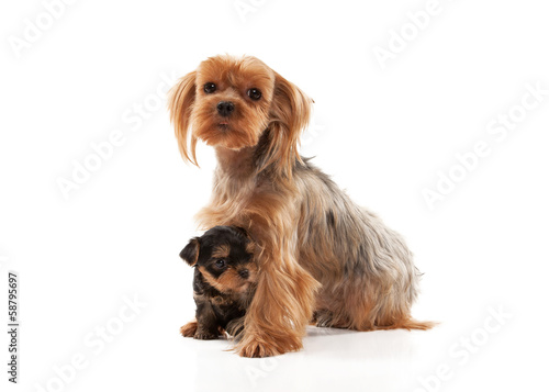 Two lovely young puppies of the Yorkshire Terrier on white backg