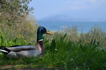 Anitra sul lago