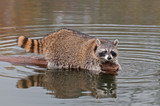Raccoon (Procyon lotor) at End of Log