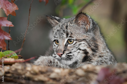 Papiers peints Lynx Bobcat Kitten (Lynx rufus) Looks Over Log
