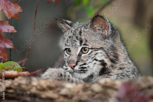 Fotobehang Lynx Bobcat Kitten (Lynx rufus) Looks Over Log