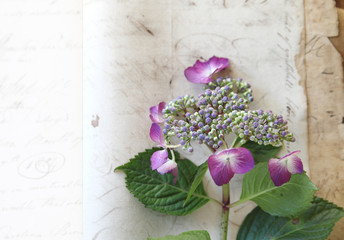 vintage paper with fresh hydrangea