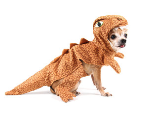 a cute chihuahua in a costume