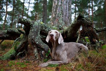 weimaraner dog and dry tree