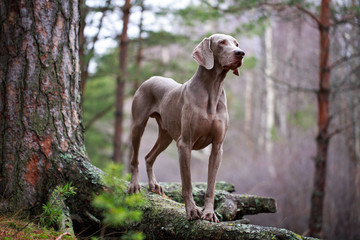 weimaraner dog and dry tree