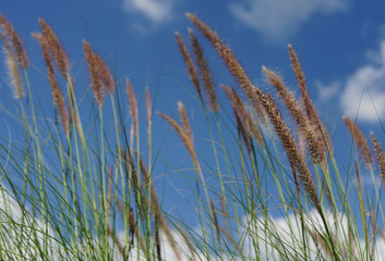 Flowering grass and clear sky
