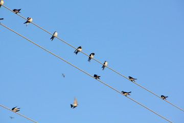 Swallows. Wire.