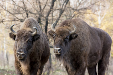Two wild European bison (Bison bonasus) in autumn deciduous fore