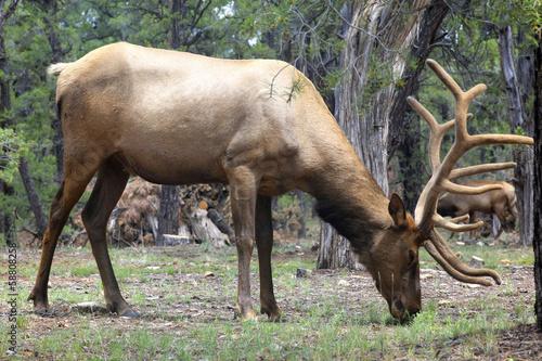 Papiers peints Roe caribou dans la forêt du Grand Canyon