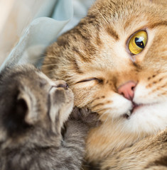 little kitten with shocked mother cat