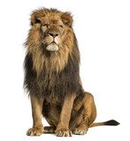 Fototapety Lion sitting, looking away, Panthera Leo, 10 years old, isolated