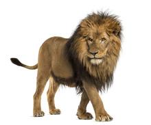 """Постер, картина, фотообои """"Side view of a Lion walking, Panthera Leo, 10 years old"""""""