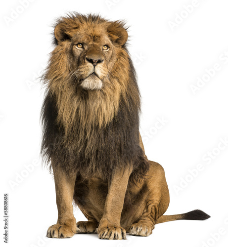 Papiers peints Lion Lion sitting, looking away, Panthera Leo, 10 years old, isolated