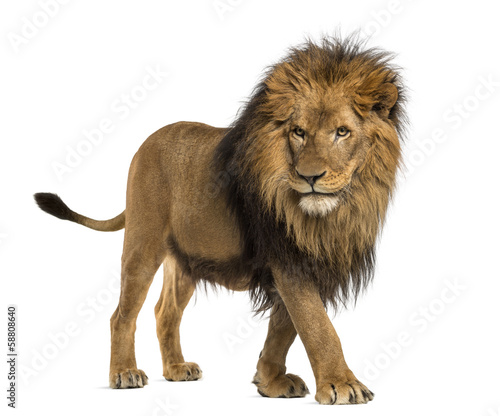 Poster Leeuw Side view of a Lion walking, Panthera Leo, 10 years old