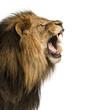 Leinwanddruck Bild - Close-up of a Lion roaring, isolated on white