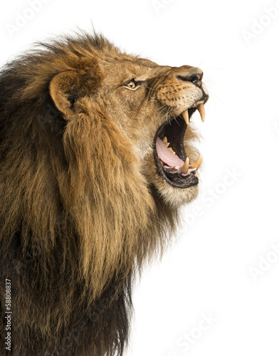 Poster Close-up of a Lion roaring, isolated on white