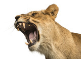 Close-up of a Lioness roaring, Panthera leo, 10 years old