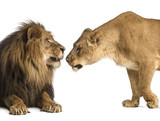 Lion and lioness sniffing each other, Panthera leo, isolated