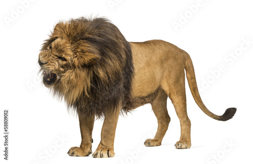 Lion standing, roaring, Panthera Leo, 10 years old, isolated