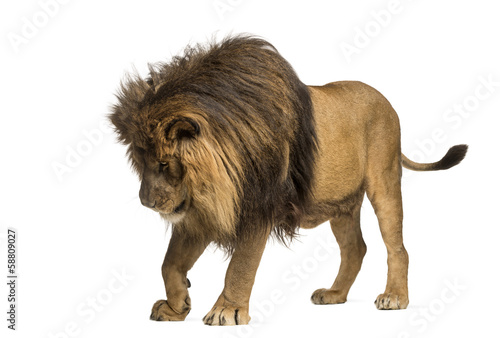 Lion standing, looking down, Panthera Leo, 10 years old