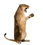 Side view of a Lioness roaring, sitting on hind legs