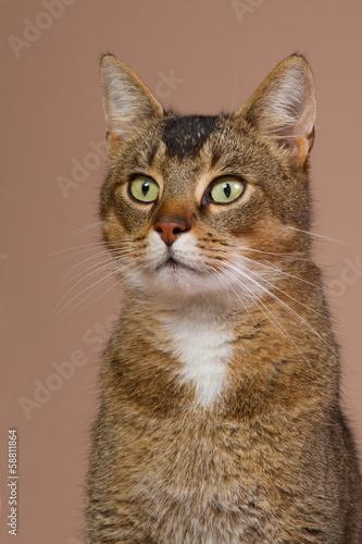 Portrait of a beautiful crossbred Abessin