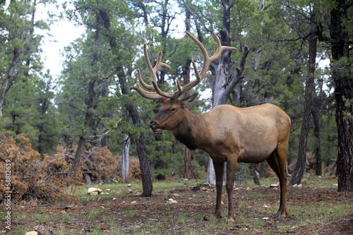 Foto op Canvas Ree caribou dans la forêt du Grand Canyon