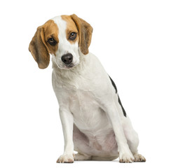 Front view of a Beagle puppy, sitting, looking at the camera