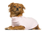 Dressed-up Mixed-breed Chihuahua lying, 10 months old, isolated