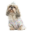 Dressed-up Shih Tzu wearing a diadem sitting, 4 years old