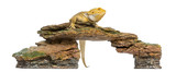 Bearded Dragon perched on a stone, Pogona vitticeps, 5 years old