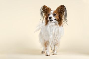 Hunde-Papillon-10537