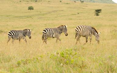 tiro of zebras walking in kenya